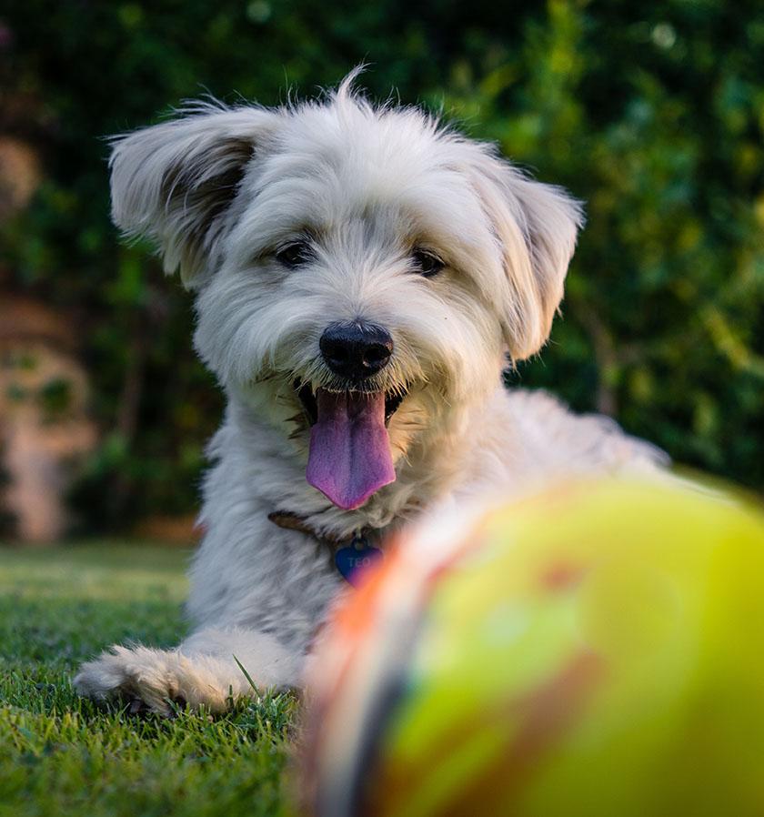 Dog in Grass Yellow Ball